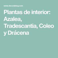 Plantas de interior: Azalea, Tradescantia, Coleo y Drácena