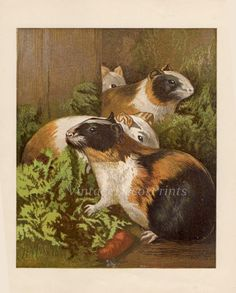 An Antique Print of Guinea pigs. A fine chromolithograph from the Victorian era. Originally painted by Harrison Weir (1824 - 1906). Perfect