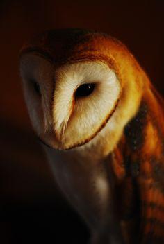 Owl Photos, Owl Pictures, Beautiful Owl, Animals Beautiful, Owl Bird, Pet Birds, Animals And Pets, Cute Animals, Arusha