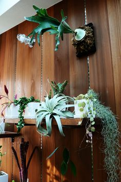 Love all these plants together. Air Plants, Garden Plants, Indoor Plants, Planting Succulents, Planting Flowers, Platycerium, Green Decoration, Air Plant Display, Plant Design