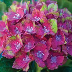 Hydrangea macrophylla 'Glam Rock' (Horwack) - Garden Plants from Thompson & Morgan - Thompson & Morgan