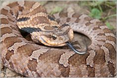 A young Eastern Hognose Snake puts on a defensive display by spresing its neck, hissing, and bluff striking. Cute Baby Animals, Animals And Pets, Scary Snakes, Types Of Snake, All About Snakes, Deadly Animals, Colorful Snakes, Pit Viper, Snake Venom