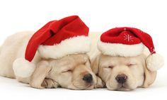 The cute Christmas pictures that will melt even the coldest heart: Adorable snaps of kittens, puppies, and lambs in festive hats