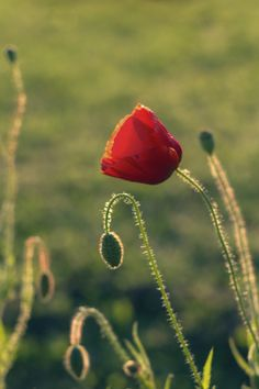 Poppy by Kuti Gergő on 500px