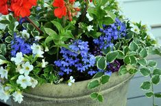 lobelia | In my gardens you'll find them peeking out from potted containers...