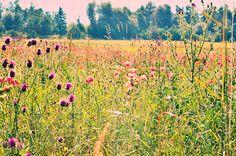 Poppy field, Croatia