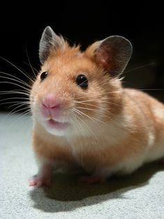 Frankly Franklin the Hamster