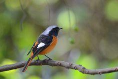 https://flic.kr/p/aZ6apP | 黃尾鴝-13 | 黃尾鴝,英文名:Daurian Redstart,學名:Phoenicurus auroreus,不普遍冬候鳥。