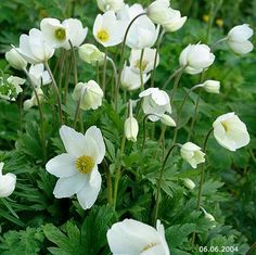 Arovuokko, Anemone Sylvestris Bunch Of Flowers, Wild Flowers, White Gardens, Flowers Perennials, Summer Garden, Beautiful, Plants, Party, Bonito
