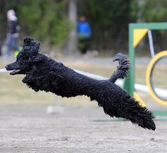 Fastest Poodle in Finland! Poodles
