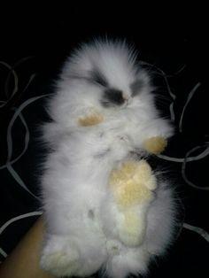 My cute lionhead bunny