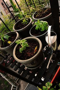 How To Urban Garden How to start a Balcony Herb Garden - Whether it's on your balcony or in your tiny concrete backyard, it's easier than you think to develop a green thumb in a big city. Balcony Herb Gardens, Outdoor Gardens, Balcony Gardening, Indoor Gardening, Container Gardening, Gardening Tips, Urban Gardening, Allotment Gardening, Urban Farming