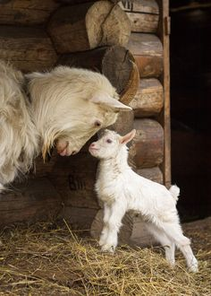 Mother goat and her 'kid'.