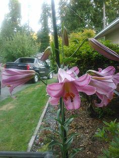 Cassini Oriental Lily