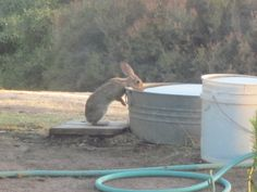Thirsty rabbit getting a drink of water at High Sierra Showerheads in Coarsegold, CA