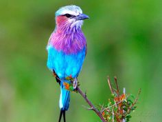 Lilac Breasted Roller, Africa