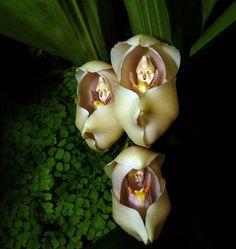 Fleurs aux formes insolites qui ressemblent à des animaux ou des humains. Bébés emmaillotés (Anguloa Uniflora)