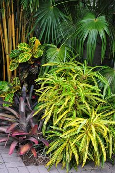 Bamboo, Fan Palm, Croton and Bromeliad. Randy Weisner garden.