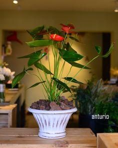 #plantas #macetas #barro #artesanal #mx #floreria #anturio