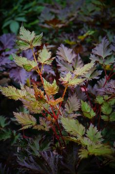 Astilbe 'Delft Lace' (Dark leaf) | by Karl Gercens