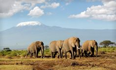 Kenya's famous Amboseli National Park with Mount Kilimanjaro - Africa's highest mountain - as the backdrop