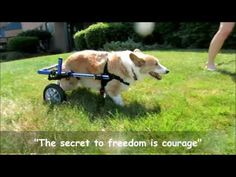 Pup's First Steps In Walkin' Wheels! http://www.handicappedpets.com/adjustable-dog-wheelchairs