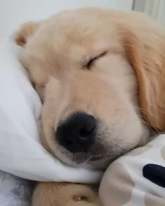 Dog sleeping like human : aww Cute Little Puppies, Cute Dogs And Puppies, Doggies, Cute Baby Animals, Animals And Pets, Sweet Dogs, Retriever Puppy, Sleeping Dogs, New Puppy