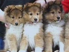 Sheltie puppies and shelties exercise