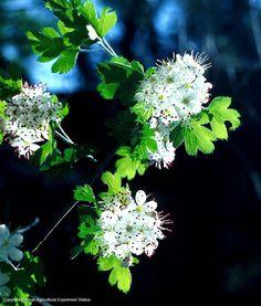 Parsley Hawthorn, Texas Native Plants Database