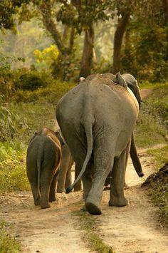 Elefantes caminando por la vereda