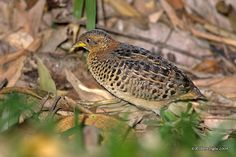 Red-backed Buttonquail(Turnix maculosus) Buttonquail or hemipodes are members of a small family of birds, Turnicidae, which resemble, but are unrelated to, the quails of Phasianidae. They inhabit warm grasslands in Asia, Africa, Europe, and Australia.