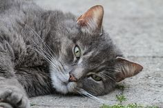 What does it mean when a cat meows, purrs, or kneads? Find out what all your cat's sounds mean and how they communicate with you through body language from The Old Farmer's Almanac.