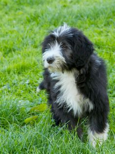 Bearded collie photo   Bearded Collie Puppy For Sale   Kidderminster, Worcestershire ...