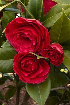 Bella Rossa Camellia