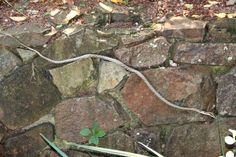 A Vine Snake slides in between the rocks at Tree Lodge