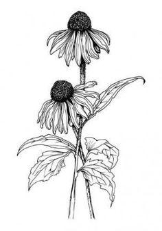 Ideas flower art drawing tattoo tat for 2019 Flower Art Drawing, Flower Sketches, Plant Drawing, Flower Drawings, Botanical Drawings, Botanical Art, Botanical Illustration, Illustration Art, Tatoo Art