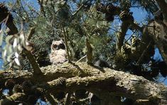 Great horned owl chicks peer down from their pine tree perch. The Presidio forest is currently home to four great horned owl and three red-tailed hawk nests. Photo courtesy Presidio Trust. http://baynature.org/articles/new-life-presidios-historic-forest/