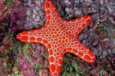 """starfish                                                    (Phylum Echinodermata (means """"spiny skin"""")"""