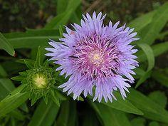 Danúbio Azul (Stokesia laevis)