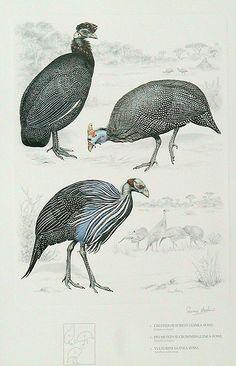 RW plate guineas.jpg (500×777)