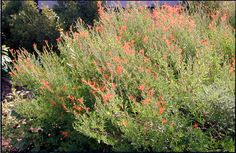 Flame Acanthus: One of the toughest and easiest plants to grow. Excellent for wildlife.