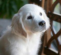 Holistic breeder of top quality AKC Certified, English Cream, White Golden Retriever Puppies Golden Retriever Blanc, Labrador Retriever Negro, Schwarzer Labrador Retriever, White Golden Retriever Puppy, English Golden Retrievers, White Golden Retrievers, White Labrador Puppy, Labrador Puppies, Beagle