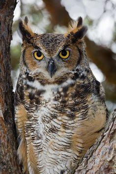 http://images.fineartamerica.com/images-medium/common-great-horned-owl-kathleen-nelson.jpg