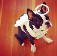 Angel Costume of Begbie the Boston Terrier at 19 months old from New Westminster, Canada! :) Check out more Halloween Costumes of Boston Terrier dogs ► http://www.bterrier.com/?p=17459
