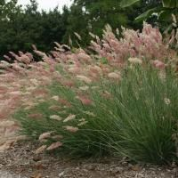 9 New and Unusual Grasses | Fine Gardening