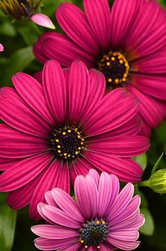 ~~Purple Osteospermum by Debbie Green~~