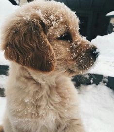Golden Retriever puppy playing in the snow