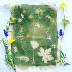 #sunprint on fabric with #muscari and #cowparsley for day2 of my #100daysofbotanicalcollages #the100dayproject (flip images to see the process)