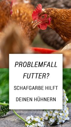 Bei Futterumstellung oder minderwertigem Futter hilft Schafgarbe Deinen Hühnern bei der Verdauung und Entgiftung. So können sie mehr Nährstoffe aus dem Futter holen und der Magen-Darm Trakt wird geschont. Rooster, Chicken, Pets, Pet Dogs, Free Range, Cubs