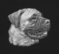 Mastiff - Scratchboard Art. Copyright Sue Walters 2015. The actual size of the piece. An idea of the smaller high realism pieced that would suit an urn or other memorial.